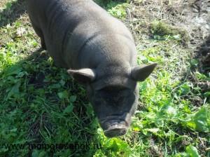Свинка вьетнамец