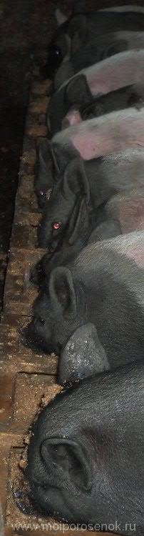 Вьетнамские вислобрюхие свиньи зимой