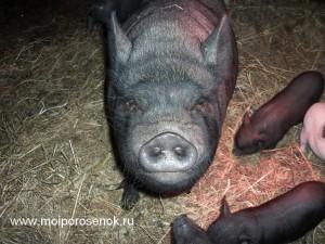 Предупреждение от сердитой свиньи